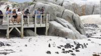 Kawanan Lebah Bunuh 63 Penguin yang Terancam Punah
