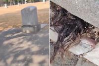 Viral, Rambut Muncul dari Makam Berusia Seabad, Penemunya Lari Ketakutan