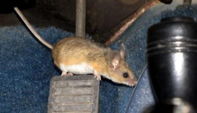 Waspada Serangan Tikus saat Mobil Lama Tidak Digunakan