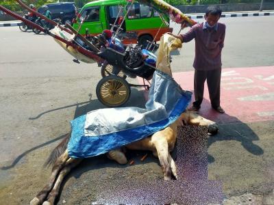 Sedang Sakit Tapi Dipaksa Narik Delman, Kuda Mati di Dekat Kebun Raya Bogor
