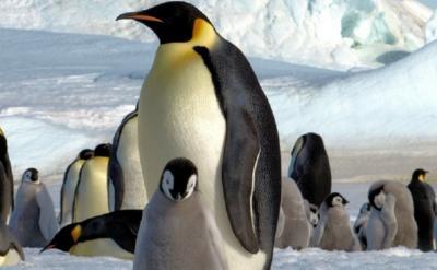 Peneliti Temukan Populasi Penguin Kaisar Meningkat di Tengah Ancaman Global Warming
