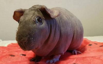 Skinny Pig, Marmut Tanpa Bulu yang Bentuknya Menyerupai Kuda Nil