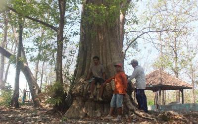 Berusia 300 Tahun, Pohon Jati Tertua di Blora Ini Punya Cerita Unik