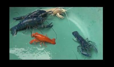 Iseng-Iseng Budidaya Lobster Warna-warni, Ternyata Banyak Untungnya
