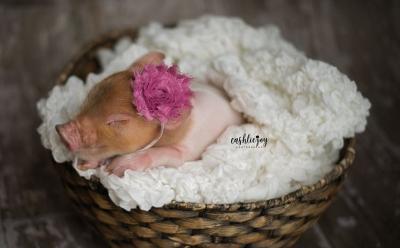 Lucu dan Menggemaskan, Begini Foto Pemotretan Bayi Babi