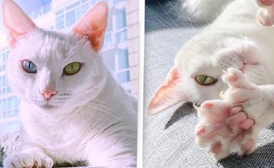Cantiknya Sansa, Kucing Bermata Beda dan Berjari Ekstra