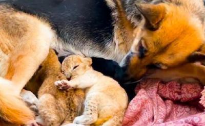 Ditolak Ibunya, 2 Ekor Anak Singa Dirawat oleh Seekor Anjing