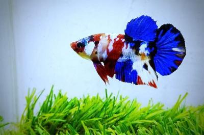 7 Hal soal Ikan Cupang yang Harganya Bisa Ratusan Juta