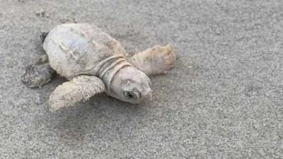 Penyu Putih Langka Ditemukan Menetas di Tepi Pantai