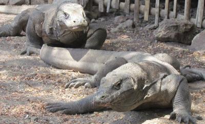 Pulau Rinca Akan Jadi 'Jurassic Park', Ini Penjelasan Menteri PUPR
