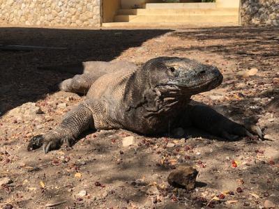 Penataan 'Jurassic Park' Pulau Rinca, PUPR: Tak Mengganggu Habitat Komodo