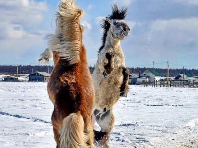 Mengenal Yakutian, Kuda Rusia yang Bisa Hidup di Suhu Minus 70 Derajat Celsius