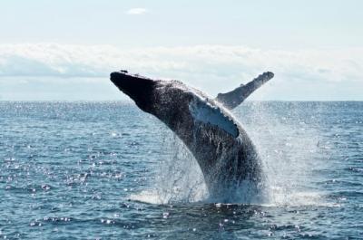 Sains dan Alquran Ungkap Kehebatan Ikan Paus Hidup di Laut Lepas