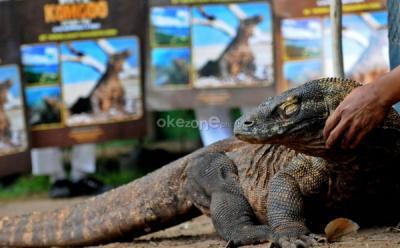 Lihat Komodo Tak Perlu ke Labuan Bajo, di Jakarta Juga Ada