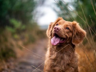 Kisah Anjing Dou-Dou Berjalan 60 Km untuk Pulang Setelah Hilang Sebulan
