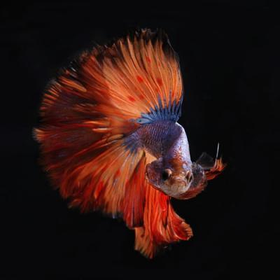 Ingin Pelihara Ikan Cupang? Siapkan Dulu Perlengkapan Ini