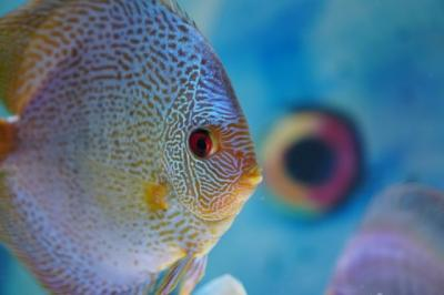 5 Ikan Hias yang Menarik Dipelihara Selain Cupang