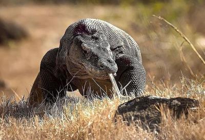 Meningkat dalam 3 Tahun Terakhir, Populasi Komodo Kini 3.022 Ekor