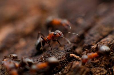 Studi Baru Ungkap Semut Pekerja Dahulu Miliki Sayap