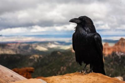 Dikenal Menyeramkan, Burung Gagak Ternyata Sangat Cerdas