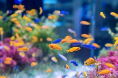 Selain Cupang, Ikan Ini Juga Bagus untuk Dipelihara Loh