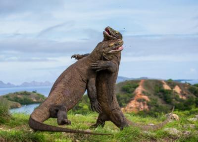 Penutupan Loh Buaya Bikin Komodo Ceria dan Bisa Bergerak Lebih Aktif