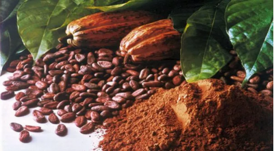 6 Strategi Petani Kakao Hadapi Perubahan Iklim agar Tetap Untung