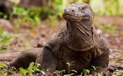 Peneliti IPB Minta Komodo di Luar Taman Nasional juga Diperhatikan