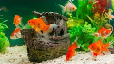 Ternak Ikan Hias, Pianto Kantongi Rp20 Juta Bulan