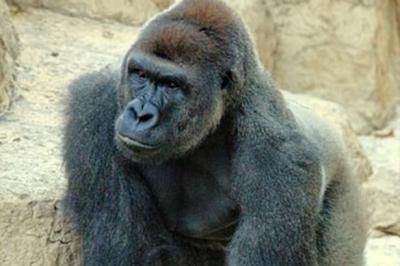 Momen Haru Gorila Bantu Burung Terluka agar Kembali Terbang