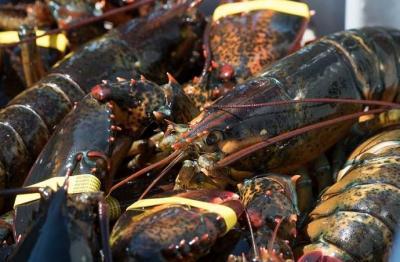 Edhy Prabowo Tersandung Kasus Lobster, Ini Daerah Penghasil Terbaik di Indonesia