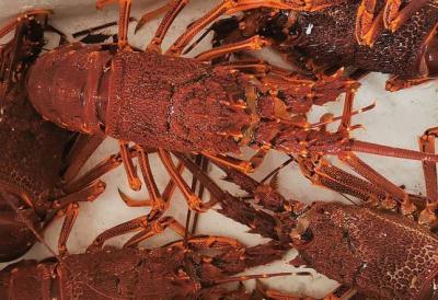 Penghasil Benih Terbesar di Indonesia, Kualitas Lobster Lombok Sudah Mendunia
