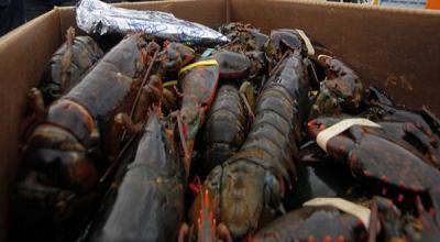 Edhy Prabowo Ditangkap KPK, Ternyata Bisnis Budidaya Lobster Menggiurkan