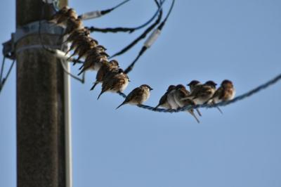Tahukah Kamu, Ini Penyebab Burung Sering Bertengger di Atas Kabel
