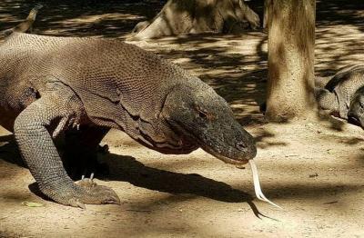 Luhut: Komodo Satu-satunya di Dunia, Harus Kita 'Jual'