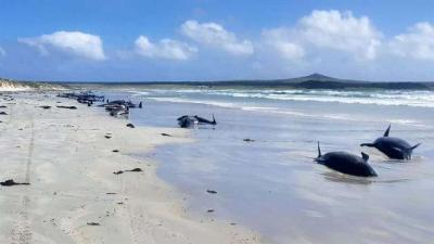 Heboh 97 Ikan Paus Ditemukan Mati Terdampar di Pantai Terpencil