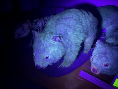 Wow, Hewan Wombat Pancarkan Cahaya Indah di Bawah Sinar UV