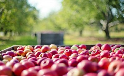 Sering Konsumsi Apel di Tengah Pandemi Yuk, Ini Manfaatnya