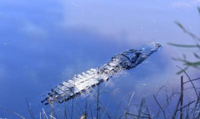 Wow, Ternyata Aligator Juga Bisa Memutus Ekor seperti Cicak