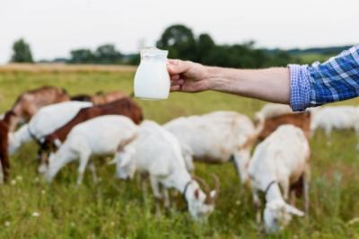 Khasiat Susu Kambing yang Perlu Kamu Ketahui, Salah Satunya Obati Anemia