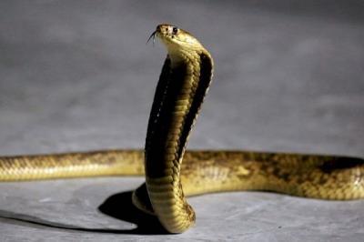 Heboh King Cobra Besar Lepas dari Kardus Paket, Nyaris Bunuh Kurir