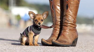 Kesepian saat Pandemi, Kenapa Tak Perlihara Chihuahua?