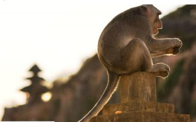 Studi Ungkap Monyet di Bali Suka Curi Barang dan Minta Tebusan