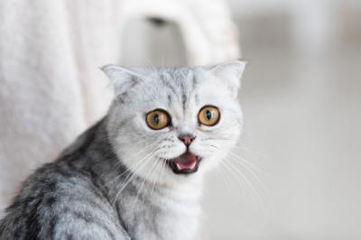 8 Penyebab Kucing Mengeong Terus-menerus, Salah Satunya Kesepian