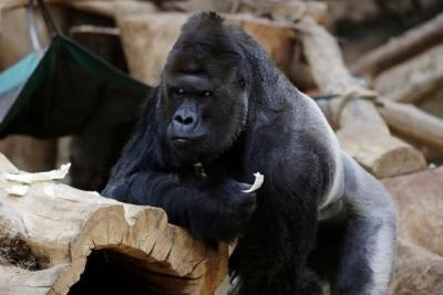 So Sad, Gorila dan Singa di Kebun Binatang Ini Tertular Corona