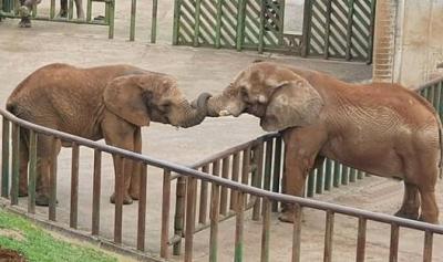 Petugas Kebun Binatang Tewas Dihantam Belalai Gajah Berbobot 4 Ton