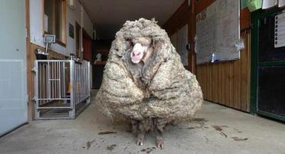 Tidak Dicukur 5 Tahun, Domba Ini Miliki Bulu Seberat 35 Kg