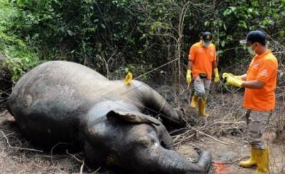 Miris! Seekor Gajah Liar Ditemukan Mati di Aceh Jaya