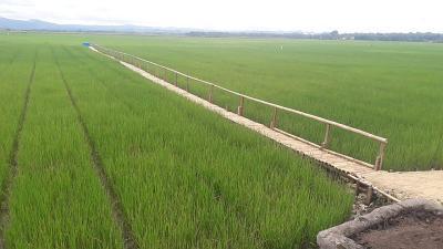Bikin Kantong Petani Tebal, Bulog Diminta Serap Penuh Panen Padi