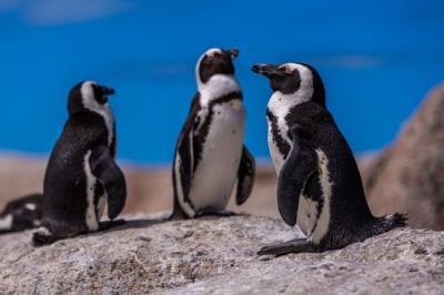 Ilmuwan Ungkap Hewan Penguin Tidak Miliki Indera Perasa